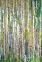 Birch Grove, mixed media painting